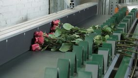 Bouquettes of pink roses are being placed into the conveyor on factory. Worker in protective gloves is putting bunches of flovers with long scapes to the green stock video footage