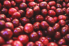 Bourbon Coffee Fruit. Red Bourbon Coffee harvested in Brazil Royalty Free Stock Photos