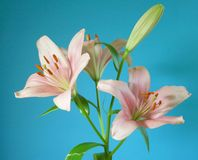 Bourbon lily Stock Photo