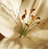 Bourbon lily Stock Photos
