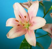 Bourbon lily Royalty Free Stock Image