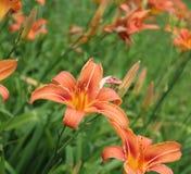 Bourbon lily Royalty Free Stock Photo
