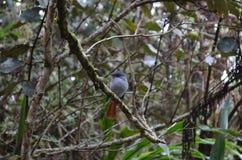 Bourbonnensis de bourbonnensis de Terpsiphone de FLYCATCHER de paradis de Mascarene, une sous-espèce indigène d'île de Rèunion Photographie stock