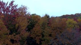 Bourdon aérien - mouche au niveau de cime d'arbre dans l'automne au Vermont banque de vidéos