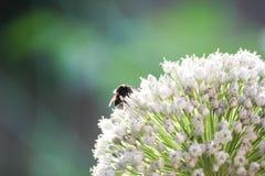 Bourdon dans l'oignon de floraison Photos stock