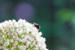 Bourdon dans l'oignon de floraison Photographie stock libre de droits