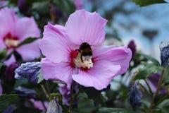 Bourdon dans une ketmie rose dans le jardin arrière pendant l'été Images stock