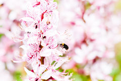 Bourdon de vol près de fleur Image stock
