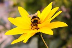 Bourdon en fleur Photo libre de droits