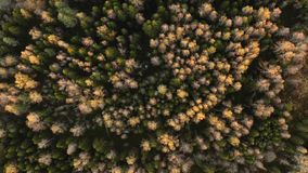 Bourdon entourant sur des cimes d'arbre de forêt d'automne banque de vidéos