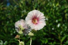 Bourdon et rose trémière Images stock