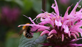 Bourdon pollinisant la fleur rose Photographie stock
