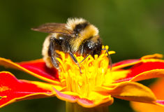 Bourdon rassemblant le nectar photo stock