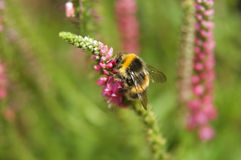 Bourdon rassemblant le nectar de la fleur de spicata de Veronica Images libres de droits