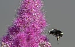 Bourdon rassemblant le pollen photo stock