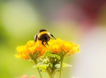 Bourdon rassemblant le pollen Photo libre de droits