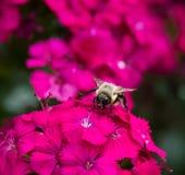 Bourdon sur des fleurs photos libres de droits