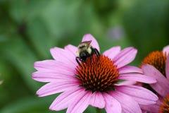 Bourdon sur l'Echinacea Image libre de droits