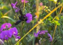 Bourdon sur l'orchidée sauvage au coucher du soleil photographie stock libre de droits