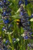 Bourdon sur la fleur Photo libre de droits