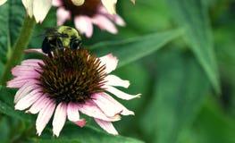 Bourdon sur la fleur de cône photos libres de droits