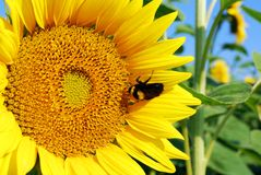 Bourdon sur le tournesol Images stock