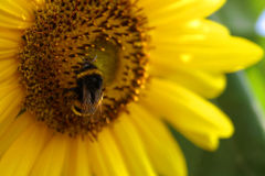 Bourdon sur le tournesol Photographie stock