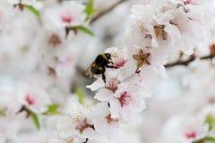Bourdon sur les fleurs de Sakura Images stock