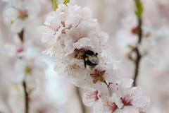 Bourdon sur les fleurs de Sakura Photo libre de droits