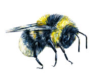 Bourdon sur un fond blanc Retrait d'aquarelle Art d'insectes Travail manuel Vue de côté Image libre de droits
