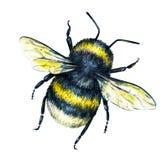 Bourdon sur un fond blanc Retrait d'aquarelle Art d'insectes Travail manuel Vue supérieure Photographie stock