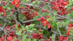 Bourdon sur un vol de buisson de Chaenomeles de tête de fleur à la tête de fleur banque de vidéos