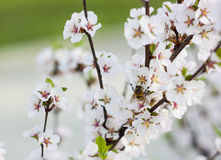 Bourdon sur une branche des fleurs de cerisier Image libre de droits
