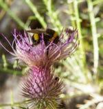 Bourdon sur une fleur d'été Photo libre de droits