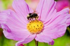 Bourdon sur une fleur de cosmos, Orégon, Etats-Unis Image stock