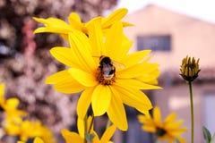 Bourdon sur une fleur jaune Photographie stock libre de droits