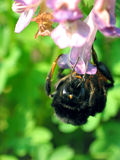 Bourdon (terrestris de Bombus) Photographie stock
