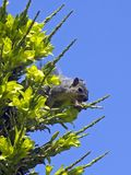 Bourdonnement d'écureuil image libre de droits