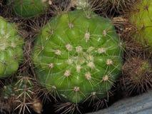 Bourdonnement d'épine de cactus Photo stock