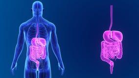 Bourdonnement d'appareil digestif avec l'anatomie banque de vidéos