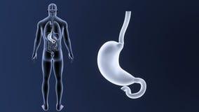 Bourdonnement d'estomac avec des organes illustration stock