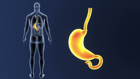 Bourdonnement d'estomac avec des organes illustration libre de droits