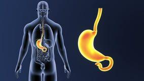 Bourdonnement d'estomac avec des organes illustration de vecteur