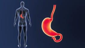 Bourdonnement d'estomac avec l'anatomie illustration libre de droits