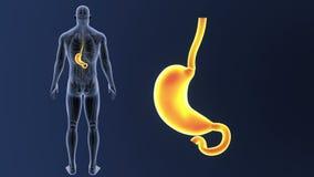 Bourdonnement d'estomac avec l'anatomie illustration de vecteur