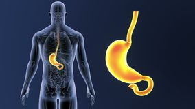 Bourdonnement d'estomac avec l'anatomie illustration stock