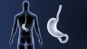 Bourdonnement d'estomac avec le corps illustration stock