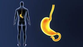 Bourdonnement d'estomac avec le corps illustration libre de droits