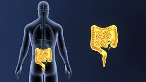 Bourdonnement d'intestin avec des organes illustration libre de droits