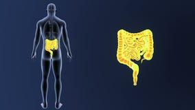 Bourdonnement d'intestin avec des organes illustration stock